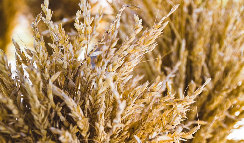 Weizenkeime: Erklärung, Einsatz und Studien